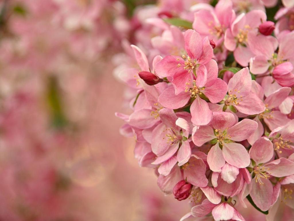 Malus Brandywine Crabapple Tree Flower