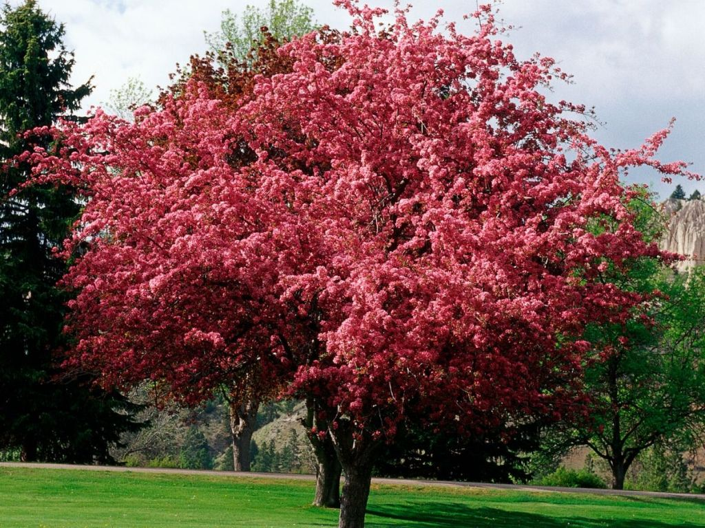 Malus Prairifire Crabapple Tree