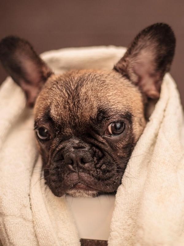 Bulldog Puppy After Bathtime