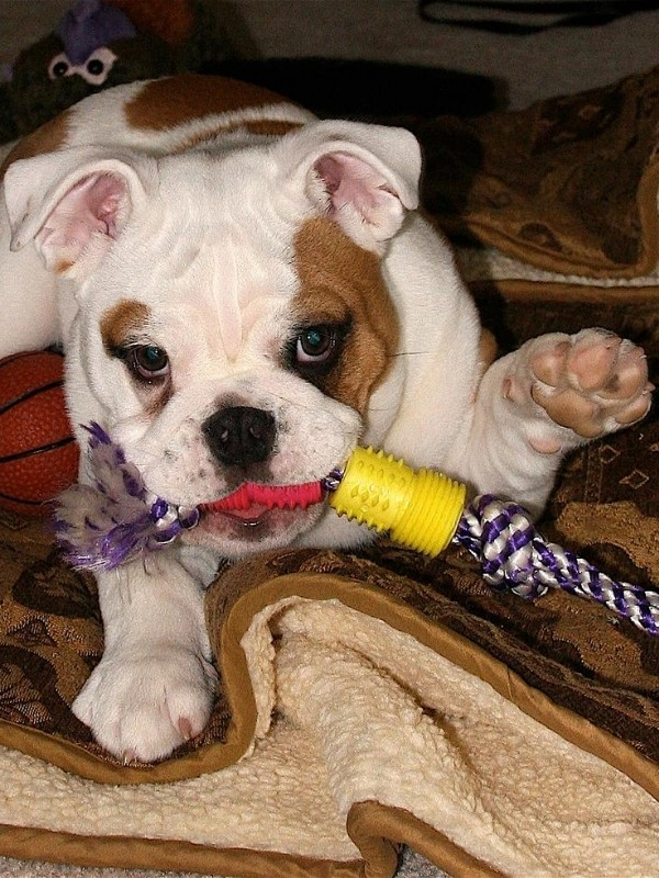 Bulldog Puppy with Chew Toy