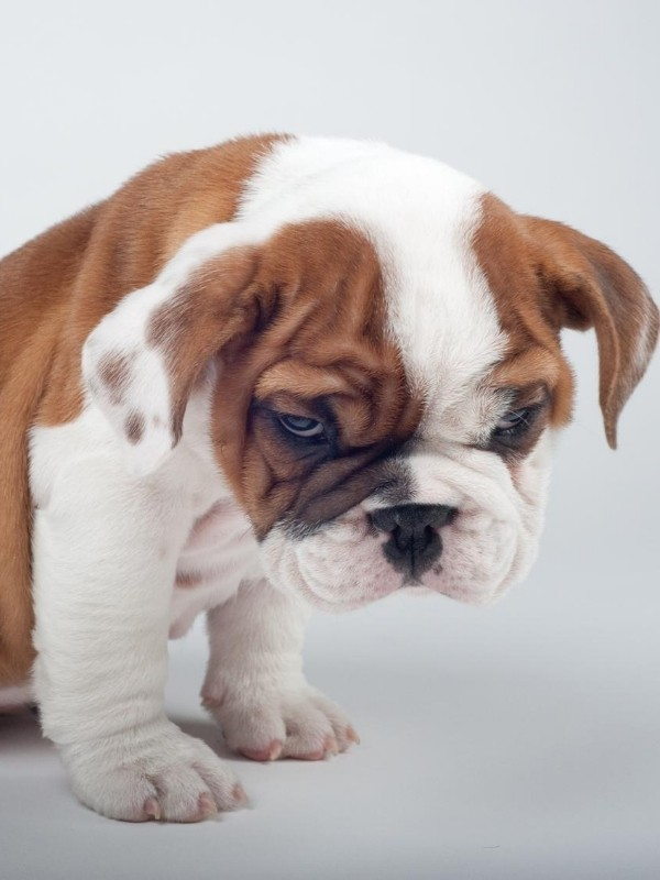 Grumpy Bulldog Puppy