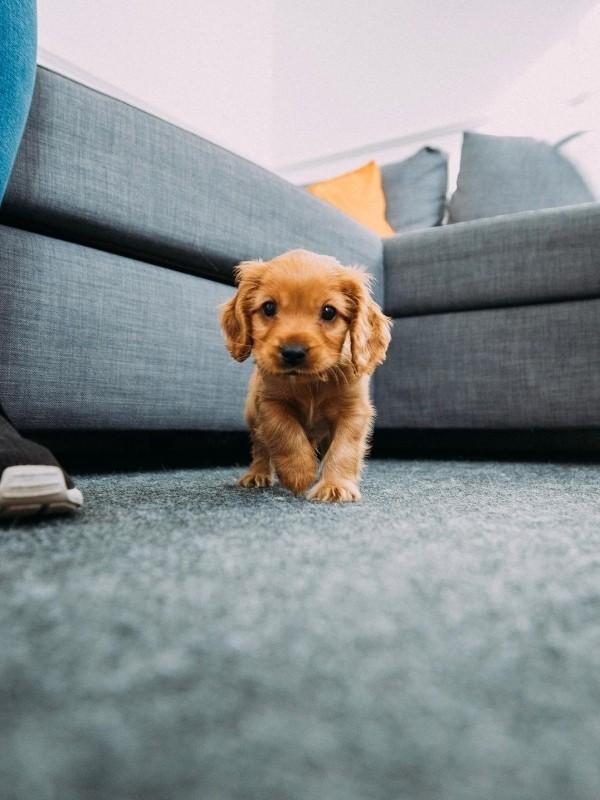 Puppy Running on Rug
