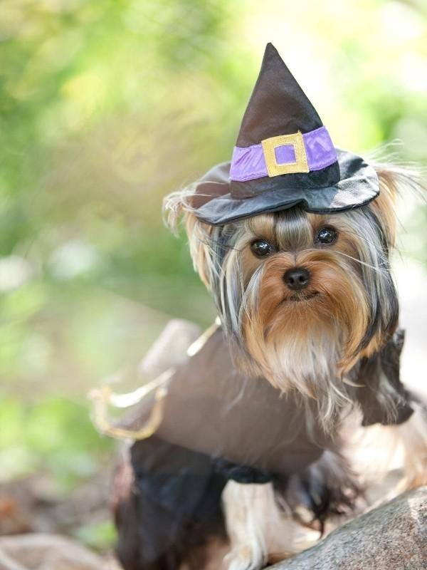 Puppy Wearing Witch Halloween Costume