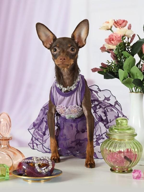 Puppy Wearing a Purple Dress