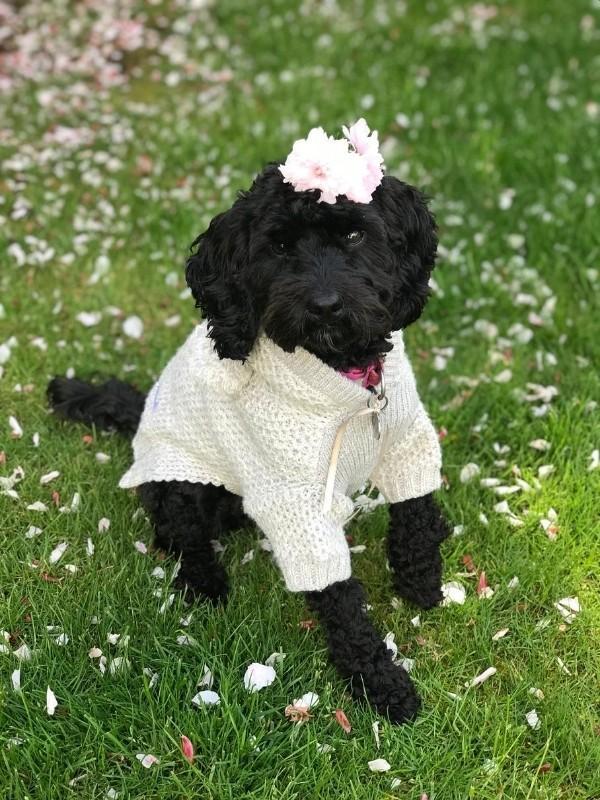 Puppy in a Fancy Knit Sweater