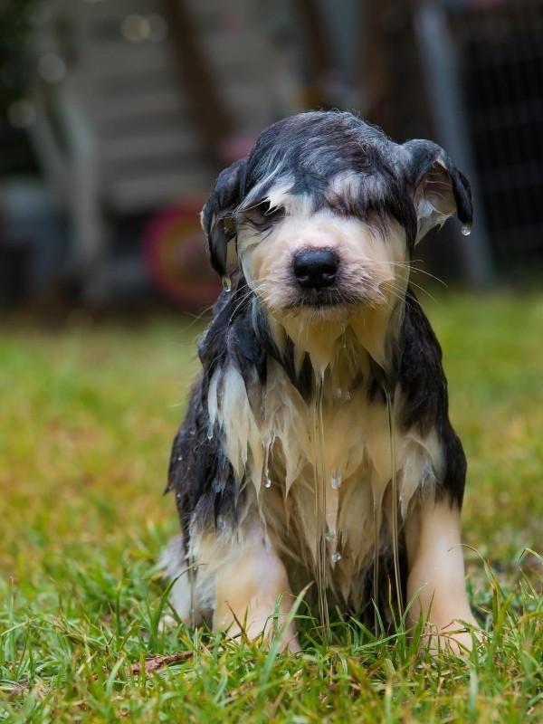 Soaking Wet Puppy Not Looking Happy