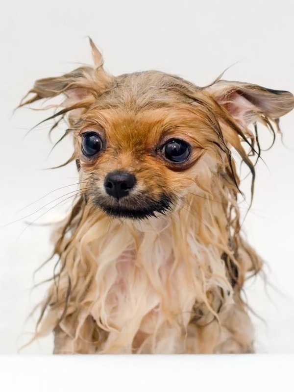 Pomeranian puppy taking a bath