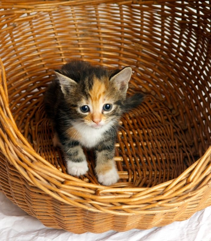 Baby Kitten in a Basket