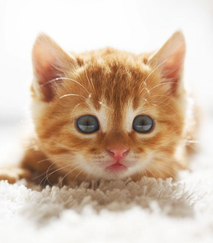 Baby Orange Tabby Kitten Looking Frightened