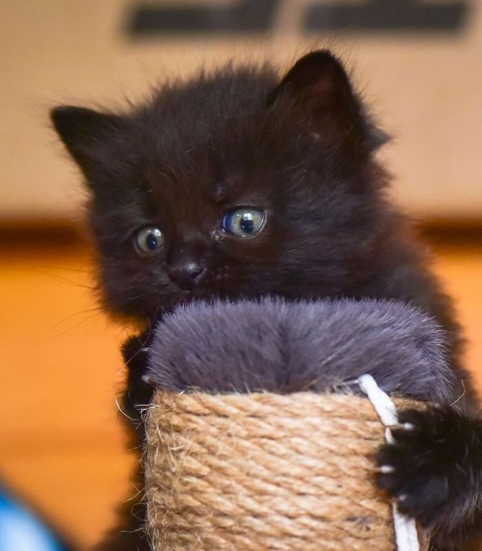 Black Kitten Playing With Toy