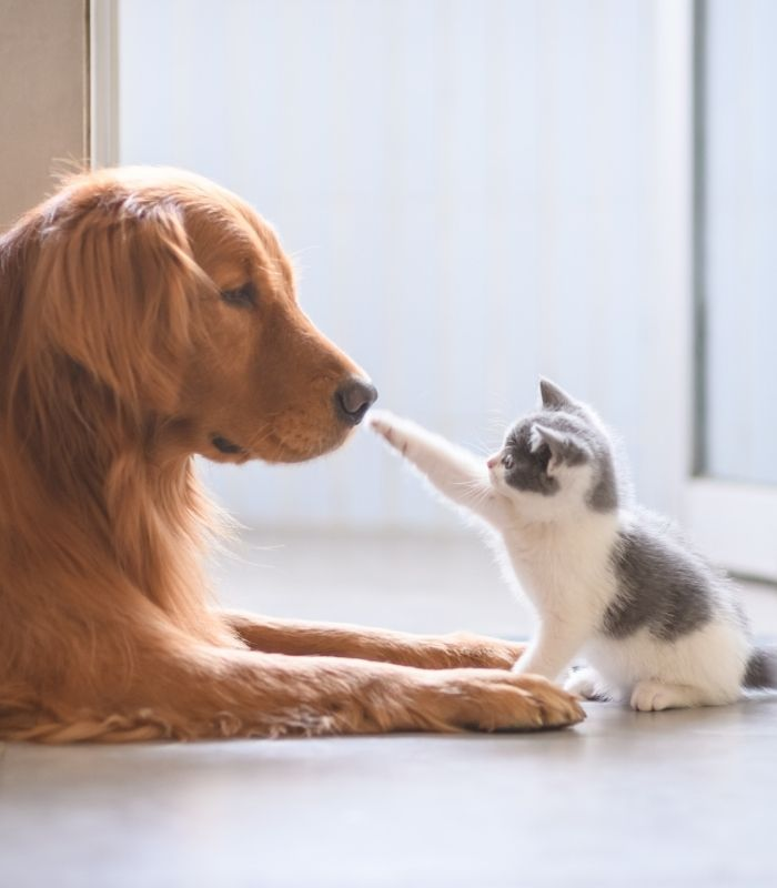Kitten Playing With Dog