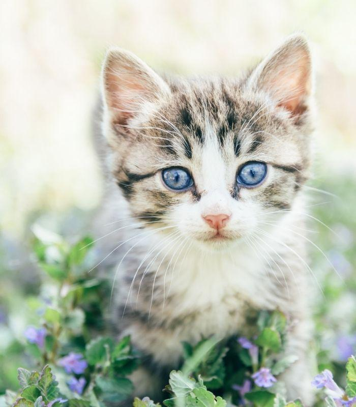 Kitten With Blue Eyes Walking Through Flowers