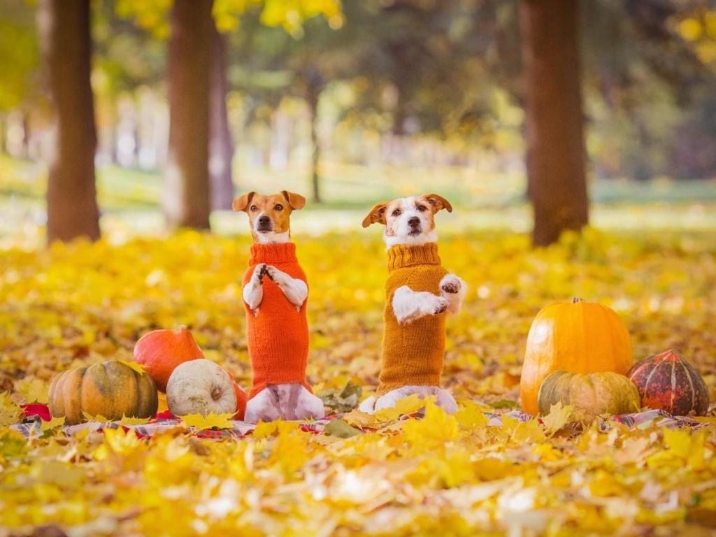 Two Dogs Wearing Fall Sweaters