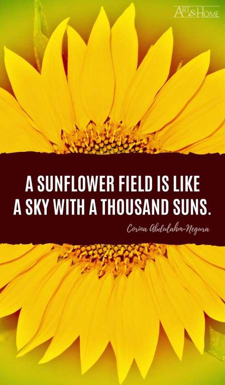 A sunflower field is like a sky with a thousand suns. Corina Abdulahm-Negura