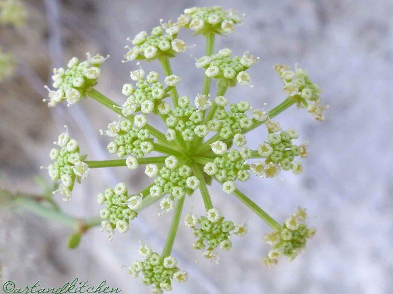 green rock samphire blossom