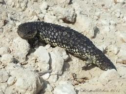 shingleback lizard at Coorong-Nationalpark 18