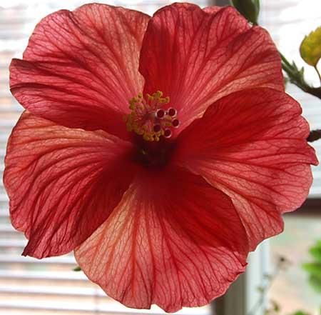hibiscusinhouse112708