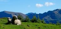 lambs on mt roy