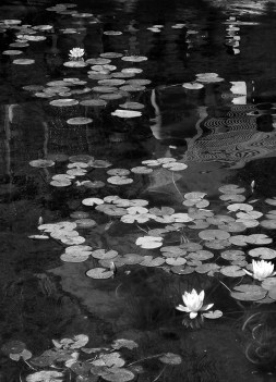 Photo of lilypads