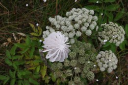 This is a detail image of an Umbel flower head adhered to a wood stem and installed as an ephemeral installation in a field of angelica flowers outside Stoovardfjordur Iceland.