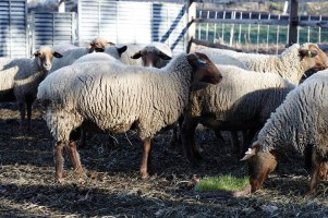 Sheep at the Stone Barns Center for Food and Agriculture graze on grass grown in clay plate showing the process by which Grazing is made.  photo by Jochem Vangrunsven