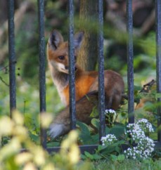 2 fox