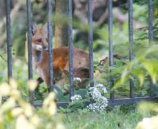 3 fox