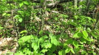 Miterwort Mitella diphylla