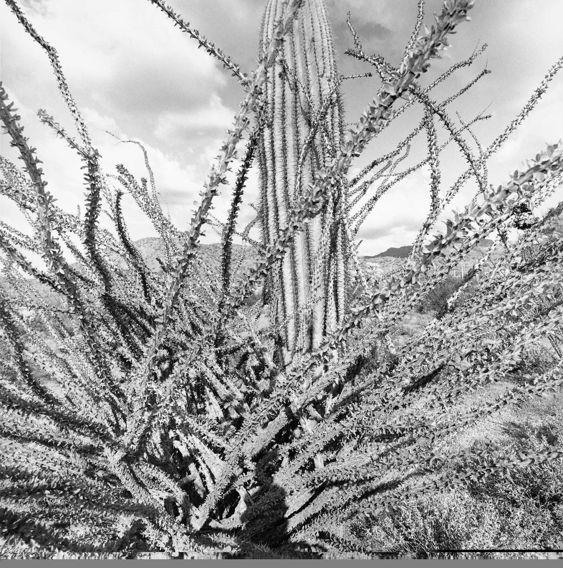 Sonoran Desert, Arizona, 1995. Gelatin silver print. © Lee Friedlander, Courtesy Fraenkel Gallery, San Francisco