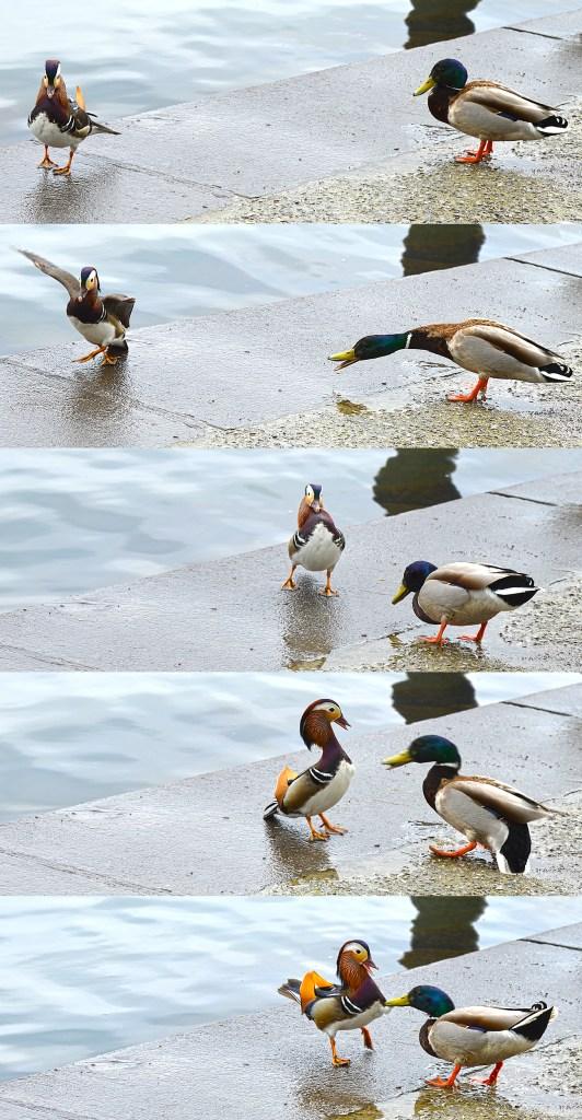 mandarin duck artborghi danger big