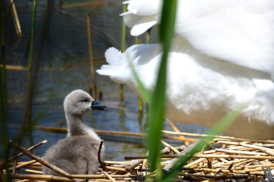 artborghi-ugly-duckling-1