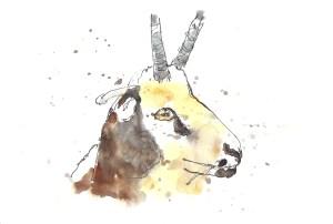 201408 animal adv goat 2
