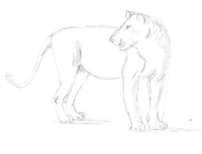 Lion sketch 1