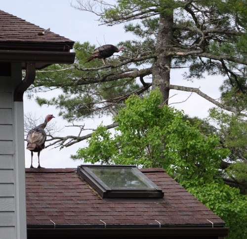 Acadia park turkeys