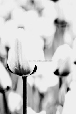 Uppsala / Botaniska - Walk Through The Tulips (with me)