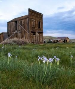 Wild Iris in Bodie - Cheryl Strahl - Photography