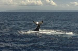 Humpback whales show a distinctive tail fluke pattern