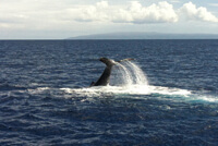 Humpback whales put tail flukes up when they dive