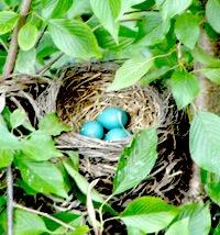 Eggshell robin blue