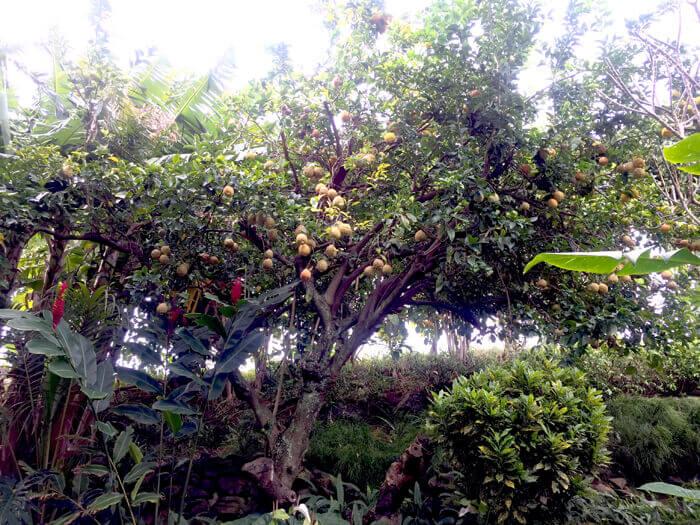 rough lemon tree