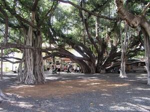 Lahaina Banyan Tree Park