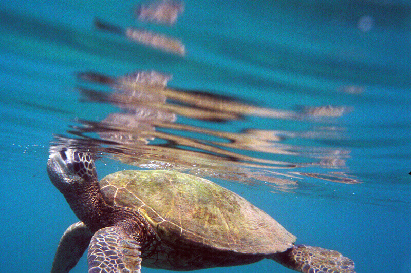 Maui Vacation Sea Turtle Surfacing