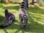 Ring-tail Lemur, Taronga Zoo, Sydney