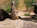 Meerkats, Taronga Zoo, Sydney