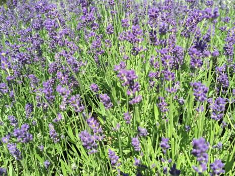 snugharbor-english lavender