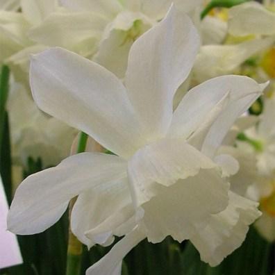 narcissus-thalia-blossomartefacthome
