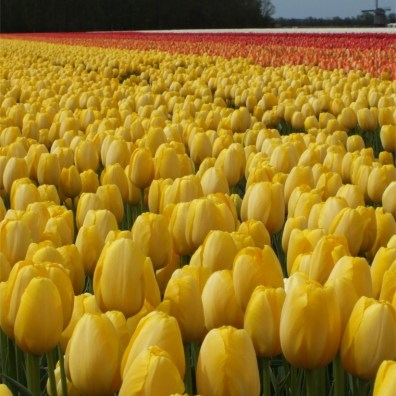 tulip-golden-prince-claus-1