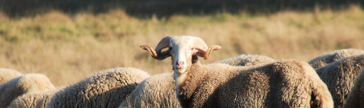 serra estrella sheep 2.jpg