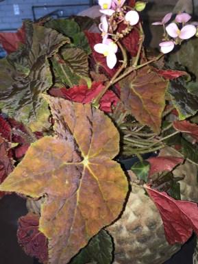 begonia-campo de fiori@artefacthome