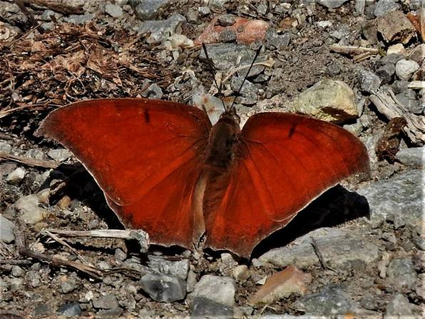 goatweed leafwing-dtaron